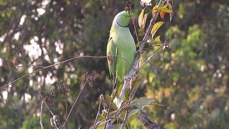 parrot corn