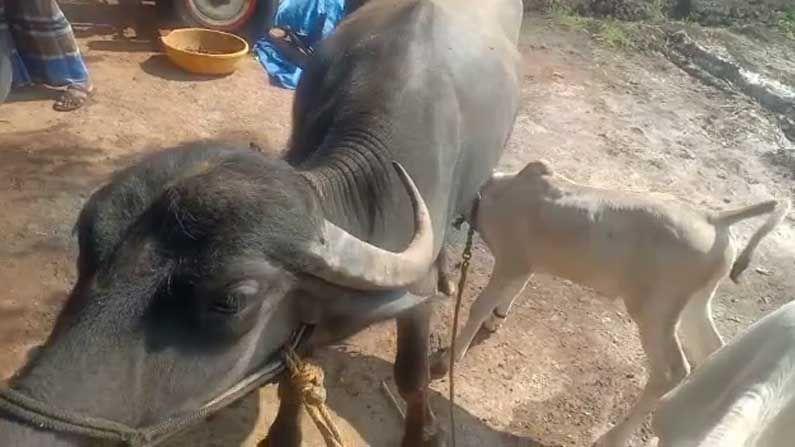 A Buffalo feed milk to cow calf