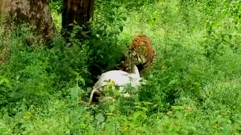 tiger attacks cow and takes away it from thimmapur village in periyapatna 3
