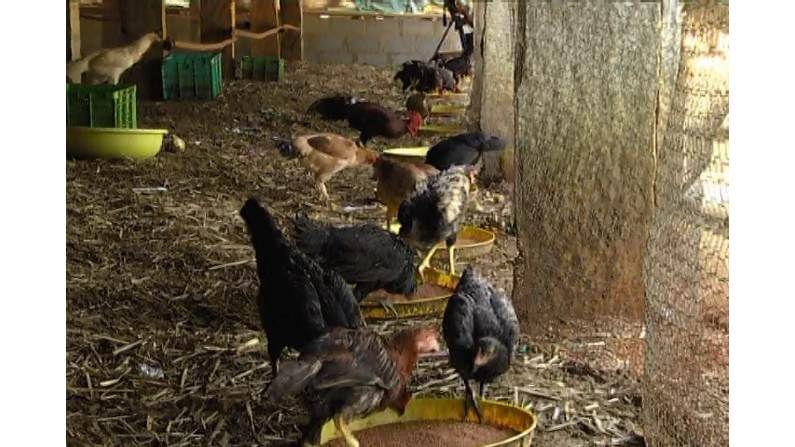 Kolar Farmer Hen